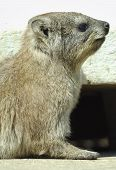 Rock Dassie portrait into the mountains zebra national park in south africa poster