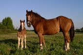 two horses - mother and child poster