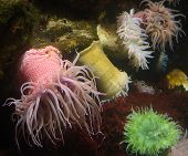 sea anemone at aquarium poster