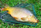 Giant carp (Cyprinus carpio) on a landing net. poster
