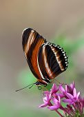 Banded Orange butterfly on pink star flowers poster