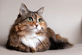 Domestic Long Hair Cat. Close-up Of A Red Cat Looking At The Camera. A Beautiful Old Cat With Green,