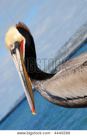 Colorful Pelican At Beach