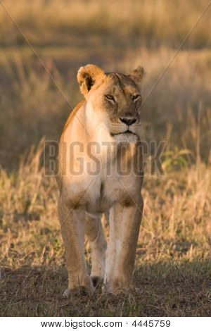Hunting Lioness In Maasai Mara, Kenya