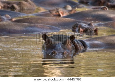 Pod Of Hippos In Waterhole