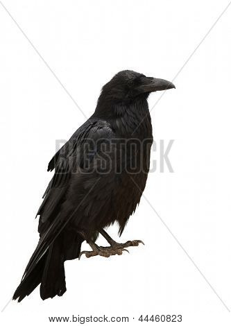 Closeup of a Common Raven (Corvus corax) isolated on white