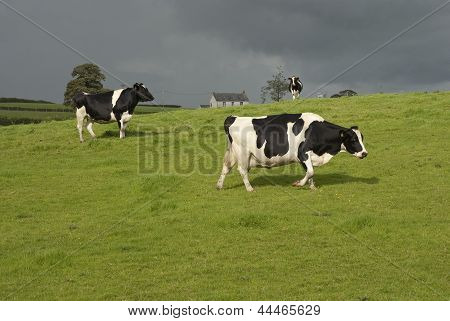 Holstein Black And White Cows