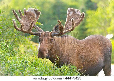 Moose In Velvet Feeding In The Wilderness