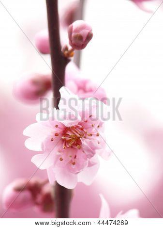 Blooming sakura flowers in Redmond , white an dink details and shadows