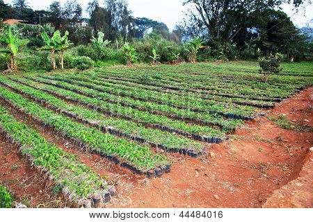 Large African Coffee Nursery