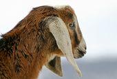 nubian goat kid ** Note: Slight blurriness, best at smaller sizes poster