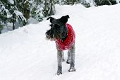 Black miniature schnauzer dog wearing a red wool sweater covered with snow playing in the woods on a cold winter day in Canada. poster