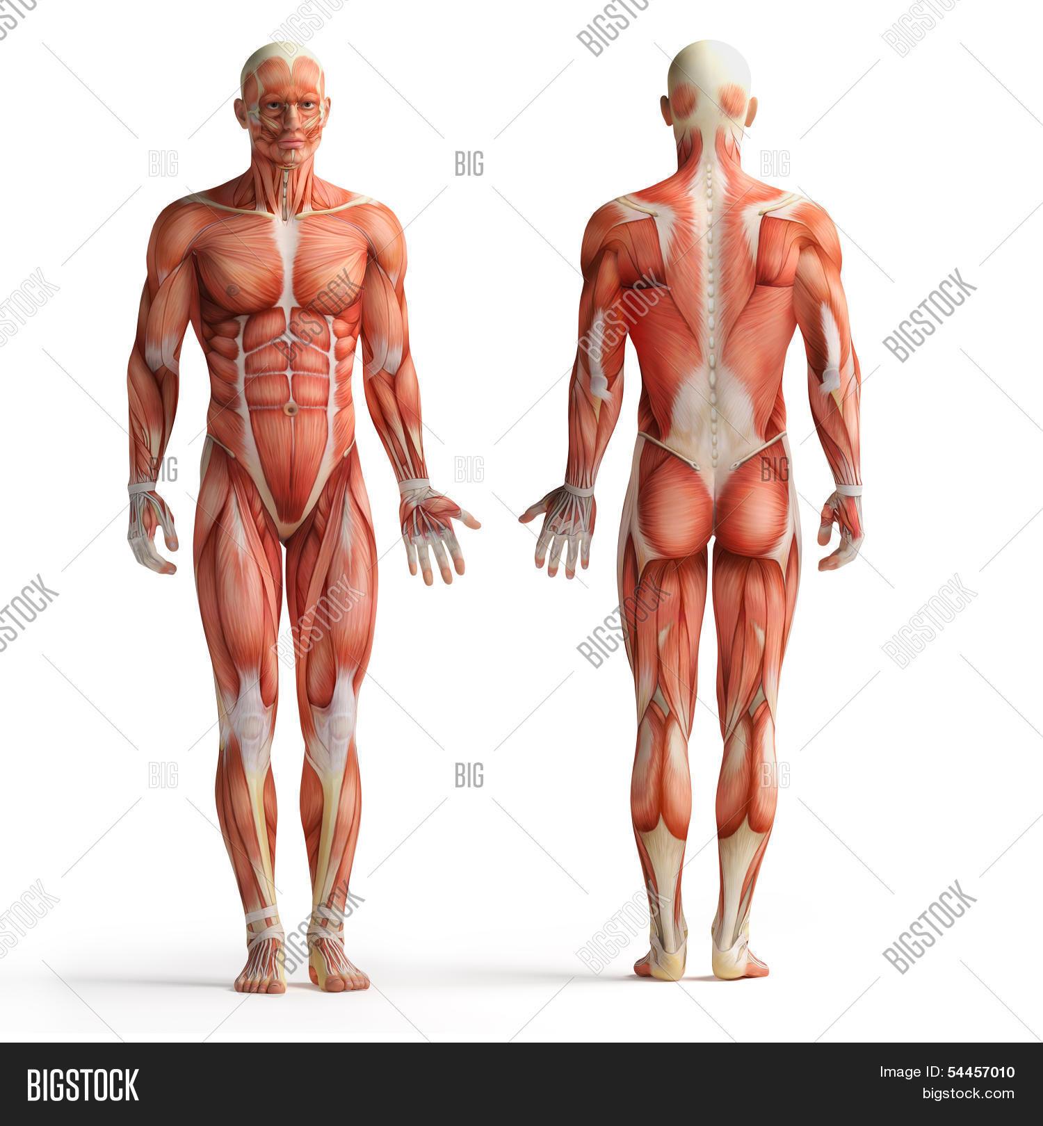 Human Anatomy View Image Photo Free Trial Bigstock