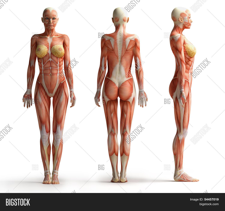 Female Anatomy View Image & Photo (Free Trial)   Bigstock