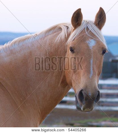 The Lovely Head Of a Palomino Australian Stock Horse poster