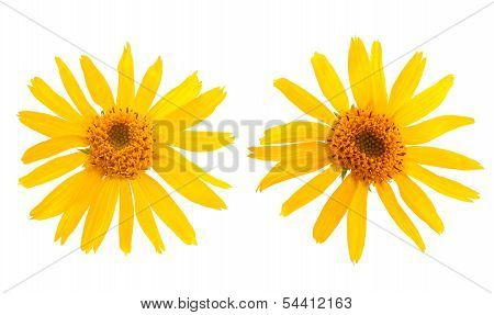 Two Arnica Montana flower on white background poster