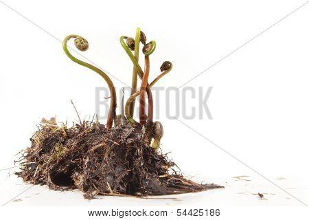 Springtime Ferns