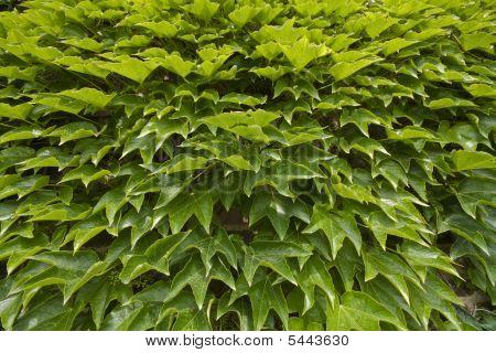Green Grape Leaves Texture