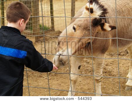 Boy At Petting Zoo With Zonkey