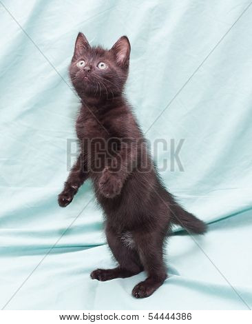Black fluffy kitten with green eyes standing on his hind legs on pale green background poster