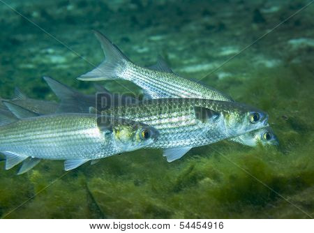 Grey Mullet Foraging - Fanning Springs