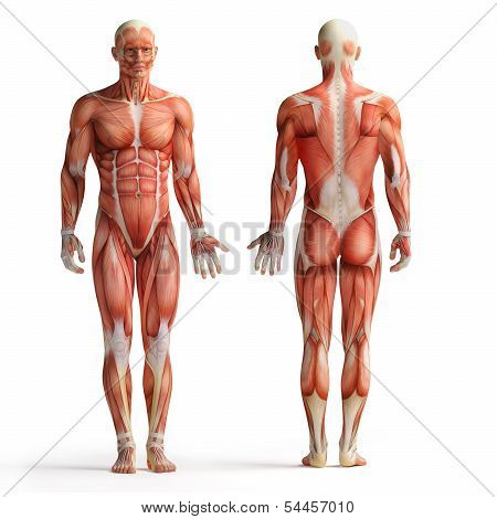 isolated front and back view of male anatomy poster