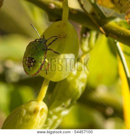 Closeup Of Green Stink Bug Nymph