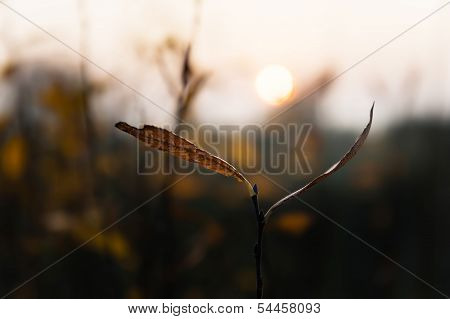 Brown Leaf On Sunset