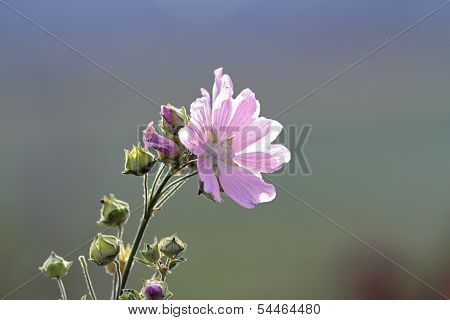 Malva Sylvestris In Bloom