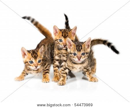 Three Bengal kitten with reflection on white background poster