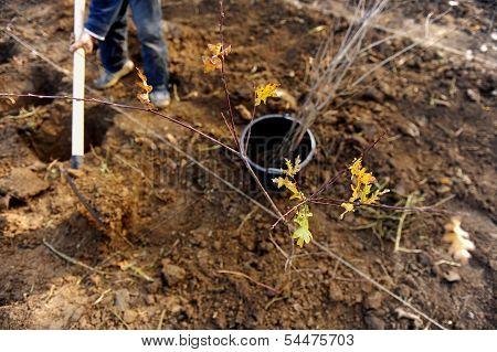 Planting A Young Oak