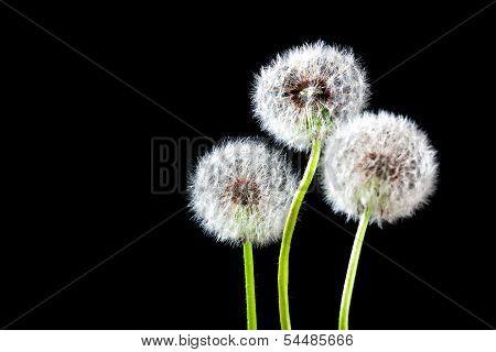 Dandelion Isolated On Black Background