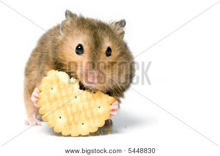 Hungry hamster eating cookie. On white background isolated. poster