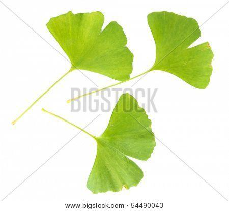 Ginkgo biloba leaves isolated on white