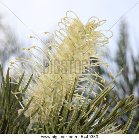 White Grevillea