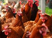 Chickens on traditional free range poultry farm poster