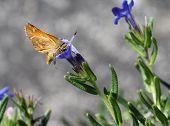 A Woodland Skipper Butterfly on a Lithodora flower poster