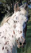 A portrait image of an Appaloosa horse, with a gentle wind blowing through his mane poster
