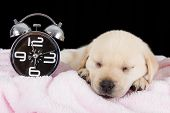 Labrador puppy sleeping on blanket with alarm clock ready to ring poster
