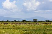 Ostrich herd on the plains of Serengeti National Park Tanzania. poster