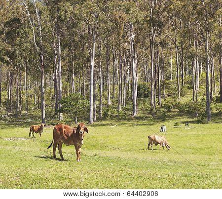 Australian Cattle Scene