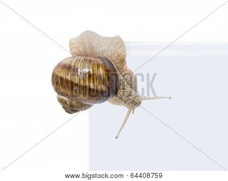 Escape! Burgundy snail leaving a transparent vivarium (isolated)