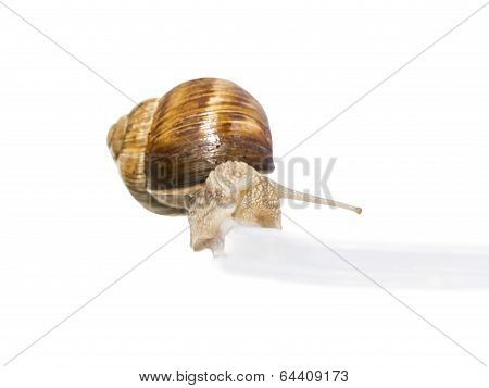 poster of Green transportation ! Burgundy snail on a plastic rail (isolated)