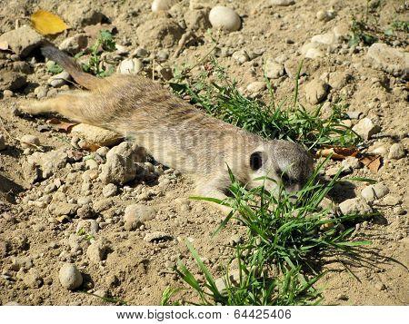 Sleeping surikata