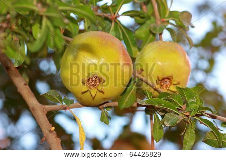 Two Pomegranates On Tree With Green Leaves