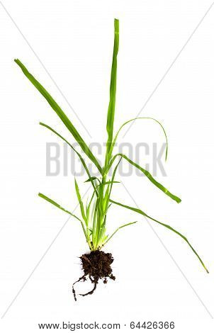 Grass With Roots And Soil Attached On A White Background
