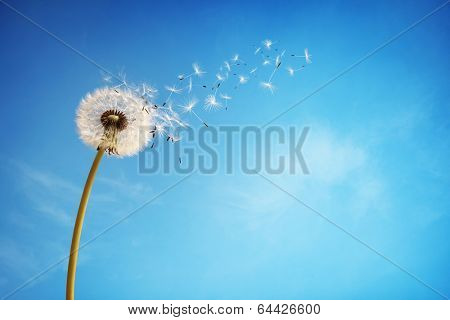 Dandelion with seeds blowing away in the wind across a clear blue sky with copy space