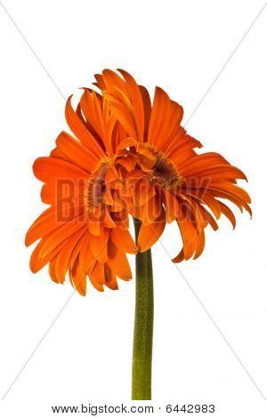Two Accrete Flowers, Gerbera