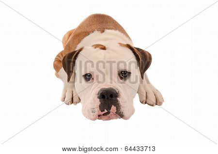 Adorable Bulldog Laying Down On A White Background