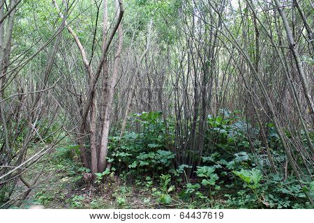 Brushwood Of Pussy-willow
